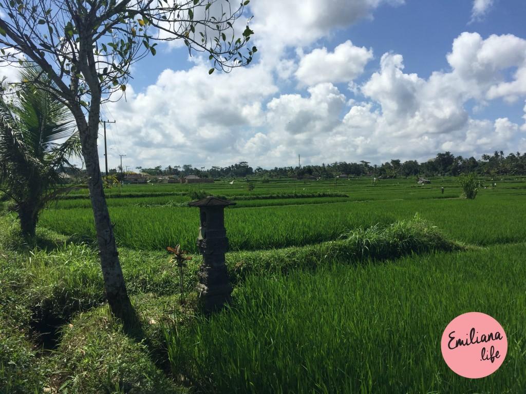 73 plantacao de arroz 2