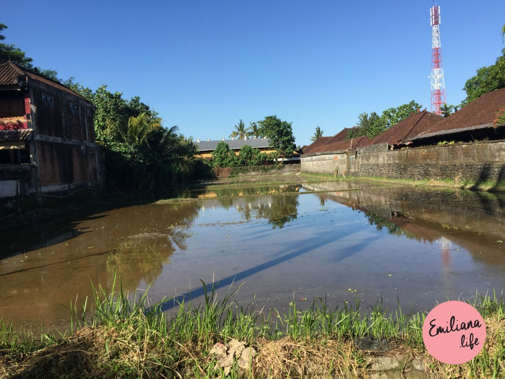73 plantacao de arroz entre duas casas