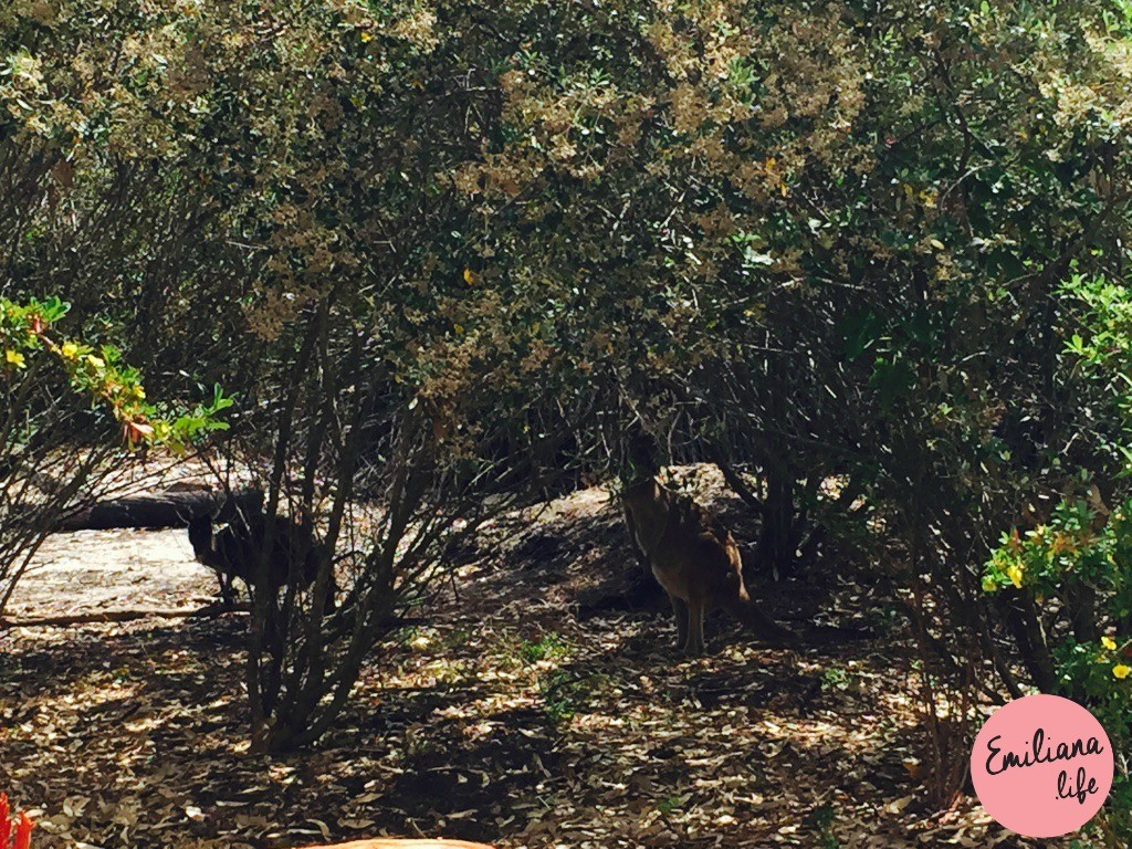 186 yanchep national park kangoroo