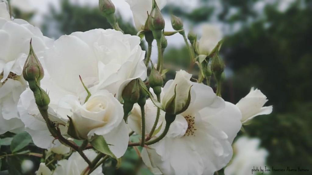06 rosas santiago foto jose